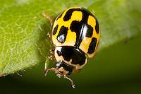 Fourteen-spotted Lady Beetle (Propylea quatuordecimpunctata) - Female, West Harrison, Westchester County, New York