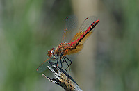 362700044 a wild male band-winged meadowhawk sympetrum semicintum perches on a dead wooden stump in modoc county california