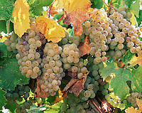 Clusters of Chardonnay grapes on the vine in the Santa Ynez Valley Vineyards. California.
