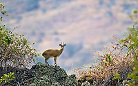 Klipspringer antelope balancing on a rock in a mountain habitat in Kenya, Africa (photo by Wildlife Photographer Matt Considine)
