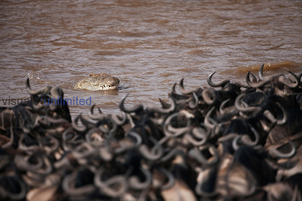 Nile Crocodile (Crocodylus niloticus) aproaching a herd of Blue Wildebeest (Connochaetes taurinus) as they cross the Mara River, Masai Mara National Reserve, Kenya.