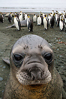 Southern Elephant Seal Portrait, Macquarie Island, Antarctica