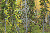 Siberian forest, Oulanka, Finland.