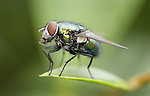 JAMES BOARDMAN / 07967642437 - 01444 412089 ..A bluebottle fly.... ..