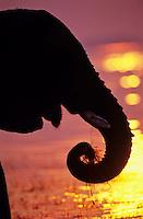 African Elephant (Loxodonta africana) feeding along edge of Lake Kariba, Matusadona National Park, Zimbabwe.  Sunset.