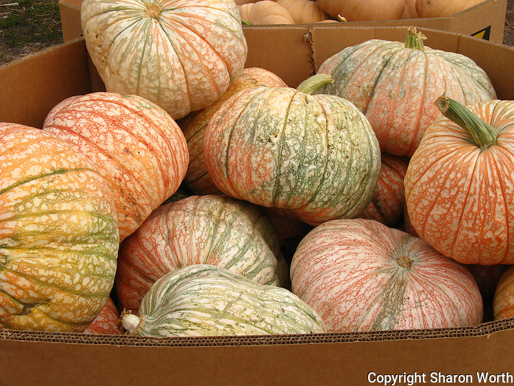 Pumpkins piled high at Pumpkin Depot, Half Moon Bay, California.