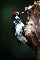Acorn Woodpecker perched on a tree trunk