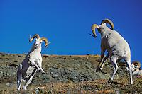 Dall sheep rams preparing to butt heads--dominance behavior.  Alaska. Fall.