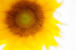 Sunflower abstracted