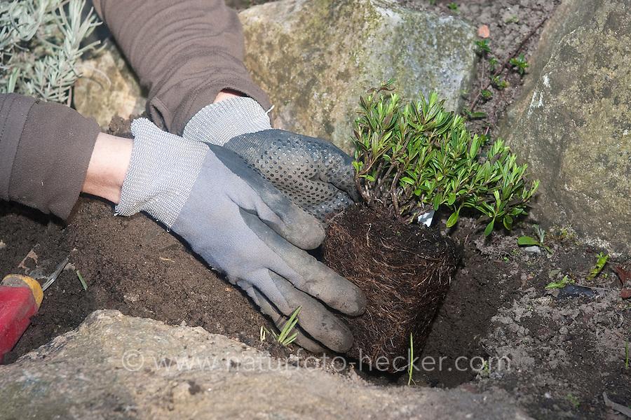 Einpflanzen eines Krautes, Pflanze, Gartenpflanze, Kräuter in Steinmauer, bepflanzen einer Kräuterspirale im Garten, Gartenarbeit