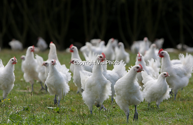 Foto: VidiPhoto<br /> <br /> LOUHANS &ndash; Bresse kippen in de buurt van Louhans (Bourgogne). Het ras wordt onder Nederlandse biologische fokkers ook steeds populairder vanwege de hoge opbrengst en de exclusieve vleeskwaliteit. De kip mag echter alleen Bresse heten als het ook uit de Bresse-regio in Frankrijk komt. Doordat de kippen over bijzonder fijn en zacht vlees beschikken, en heel rijk van smaak zijn, is het enorm populair in de bekendste restaurants van Frankrijk. De fokkerij van de poulet de bresse wordt goed bewaakt. Zo mogen de kippen alleen in kleine bedrijven met een limiet aantal van 500 stuks per bedrijf worden gehouden. Iedere Bress moet 10 vierkante meter grasland tot zijn beschikking hebben. Ieder bedrijf slacht zijn eigen kippen. Als bijvoer krijgen ze hoofdzakelijk granen, maar ook gekookte tarwe en gerst en ma&iuml;smeel met verse melk van de koe.