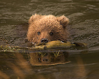 A juvenile brown bear swims in a river with a salmon in its mouth.