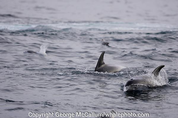 White beaked Dolphins Lagenorhynchus albirostris feeding on Capelin Spitzbergen Arctic Norway
