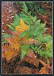 FB 172, 5x7 postcard, bracken fern