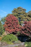 Nyssa sylvatica 'Dirr Selection' Black Gum tree in autumn color, tupelo in fall foliage, with Zelkova serrata 'Schmidtlow' aka Wireless Japanese zelkova in fall foliage color at JC Raulston Arboretum at North Carolina State University