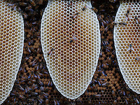 Honeysbee on a new wax comb