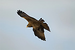 Black Kite, Milvus migrans, Simien Mountains National Park, Ethiopia, in flight, blue sky background, flying.Africa....