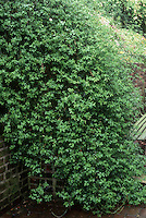 Jasminum nudiflorum out of flower against brick wall