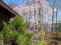 Weeping Cherry Tree Prunus in spring with Rhododendron, on sunny day with blue sky, house, evergreen tree, lake