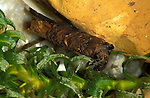 Caddis Fly Larvae, Limnephilidae sp, with bits from pond stuck on protective case around soft body.United Kingdom....