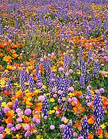 797050004 wild california poppies eschscholtzia californicus bentham lupine lupinus benthami and assorted wildflowers along the freeway near gorman california