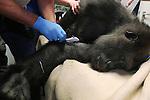 Foto: VidiPhoto<br /> <br /> ARNHEM - Voorlopig geen kinderen meer voor gorillavrouw Makoua van Burgers' Zoo in Arnhem. Maandag kreeg de mensaap een implantaat om nageslacht de komende jaren te voorkomen. Tevens werd van de gelegenheid gebruik gemaakt om het gebit van het dier te controleren en bloed af te nemen. De prikpil be&iuml;nvloedt niet de eisprong, maar voorkomt wel innesteling van de eicel in de baarmoeder. Dezelfde handeling ondergaat deze week een ander vrouwtje van de twaalf dieren tellende gorillafamilie. Burgers' Zoo is in Europa zo succesvol met het fokken van gorilla's dat vanuit het internationale fokprogramma is besloten om het wat rustiger aan te doen in Arnhem. Daarmee wordt ook voorkomen dat zilverrug Bauwi voor teveel nakomelingen met dezelfde genetica zorgt. Bij een normale cyclus krijgen gorillavrouwen eenmaal in de drie of vier jaar een jong. Het implantaat verlengt die periode met zo'n twee jaar. Drie jaar geleden werden in Burgers' Zoo zes jonge gorilla's geboren. Daarmee had de dierentuin een wereldprimeur.