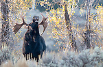Bull Moose calls during autumn mating season, Grand Tetons National Park, WY