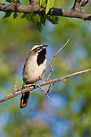 578670046 a wild black-throated sparrow amphispiza bilineata sings from a perch in florida wash near madera canyon pima county arizona united states