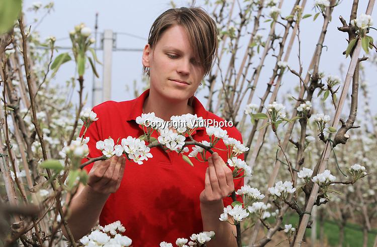 Foto: VidiPhoto<br /> <br /> RESSEN - Imke Heijmer van fruitteeltbedrijf De Woerdt in het Gelderse Ressen, controleert maandag de bestuiving van de perenbloesem (conference). Voor het eerst sinds mensenheugenis bloeien eind maart de perenbomen al volop, zeker drie weken eerder dan gebruikelijk. Voor vruchtzetting is echter onder meer bestuiving nodig en daarvoor zorgen de bijen. En ook die vliegen met het warme weer volop. De Woerdt, eigendom van fruitteler Nico van Olst, bestaat uit 9 ha. peren, 11 ha. appels en een van de grootste landwinkels van ons land.