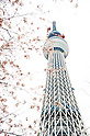 The Tokyo Sky Tree is seen through cherry blossoms in full bloom April 8, 2011, Tokyo, Japan - The Tokyo Sky Tree is seen through cherry blossoms in full bloom at Sumida Park in Taito ward, Tokyo on Friday, April 8, 2011. With the coming of spring, many people enjoy viewing the blooms with the new Tokyo landmark tower. (Photo by Kenya Chiba/AFLO) [1125]