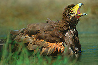 541950004 a wild harris hawk parabuteo unicinctus calls to its mate while bathing in a small pond on a private ranch in the rio grande valley of south texas