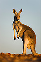 Australia,  NSW, Sturt National Park; red kangaroo (Macropus rufus); the red kangaroo population increased dramatically after the recent rains in the previous 3 years following 8 years of drought