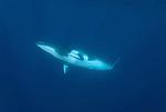Dwarf minke whale.Balaenoptera acutorostrata