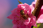 Bee on a Peach Flower, Western Honey Bee, Southern California