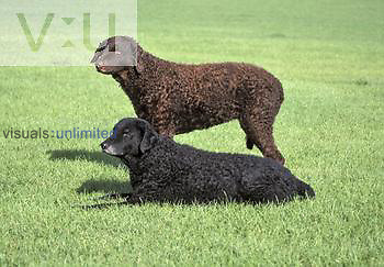 Curly-coated Retriever variety of domestic dog.
