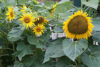 Different types of Helianthus annuus Sunflowers growing in garden