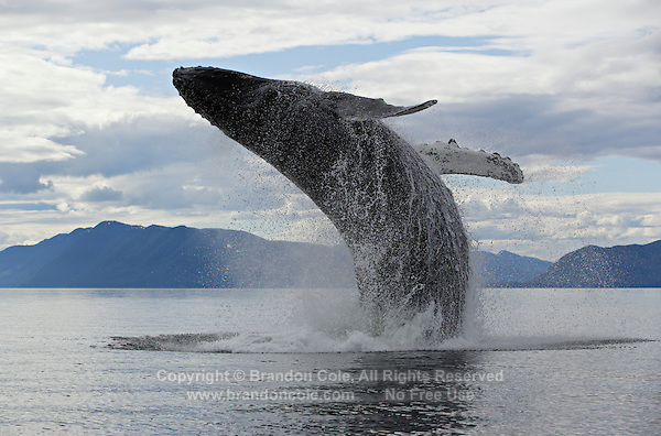 pu0207-D. Humpback Whale (Megaptera novaeangliae) breaching. Alaska, USA, Pacific Ocean..Photo Copyright © Brandon Cole. All rights reserved worldwide.  www.brandoncole.com..This photo is NOT free. It is NOT in the public domain. This photo is a Copyrighted Work, registered with the US Copyright Office. .Rights to reproduction of photograph granted only upon payment in full of agreed upon licensing fee. Any use of this photo prior to such payment is an infringement of copyright and punishable by fines up to  $150,000 USD...Brandon Cole.MARINE PHOTOGRAPHY.http://www.brandoncole.com.email: brandoncole@msn.com.4917 N. Boeing Rd..Spokane Valley, WA  99206  USA.tel: 509-535-3489
