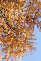 AUTUMN FOLIAGE<br /> Branches Of A Larch Tree, A Deciduous Conifer<br /> Most conifers are evergreens. The larch species is located in colder climates and lose their needles each fall. Buds protect the next years needles from the winter cold