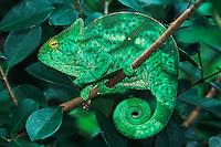 Parson's Giant Chameleon (Calumma parsonii), adult in tree, Madagascar, Africa