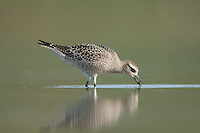 American Golden-Plover (Pluvialis dominica) - Juvenile, East Pond, Jamaica Bay Wildlife Refuge