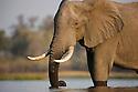 Botswana, Okavango Delta, Moremi Game Reserve,  African elephant bull  (Loxodonta africana) standing in river