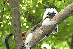 .Wild Cotton-top tamarin (Saguinus oedipus)  rests on a branch in the dry tropical forest of Colombia...IUCN List: Critically Endangered..Digital Capture