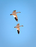 Snow Geese flying on a blue sky day in Montana