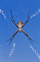 Silver Argiope, Argiope argentata, female in web, Willacy County, Rio Grande Valley, Texas, USA