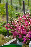 Snapdragons, cool season heirloom annual flower harvested at flower farmer Lisa Ziegler Gardeners Workshop farm