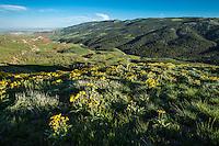Arrowleaf balsamroot blooming on Rattlesanke Mountain in Northwest Wyoming