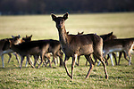 """Fallow Deer (Dama dama) grazing on the """"15 acres"""" in the Phoenix Park, Dublin. There's been a herd here since the 17th century. They live completely wild elsewhere in Ireland, and were introduced by the Normans in the 12th century."""
