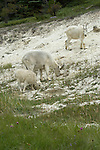 A family of mountain goats searching the ground for minerals to eat to supplement their diet