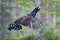25.04.2009.Capercaillie (Tetrao urogallus) cock displaying in the forest. Flight. Courting. Lekking behaviour..Bergslagen, Sweden.