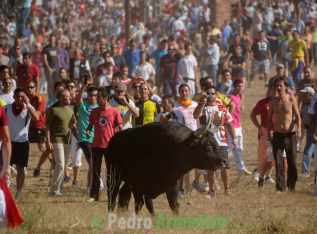 People run behind the bull during the 'Toro de la Vega' festival, on September 11, 20112 in Tordesillas. The festival is one of the oldest in Spain with roots dating back to the fifteenth century. The bull has to be enticed across the river from the village to the plain 'Vega' before it can be killed to honour the 'Virgen de la Pena'. (c) Pedro ARMESTRE